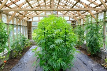 Michigan marijuana growers insurance